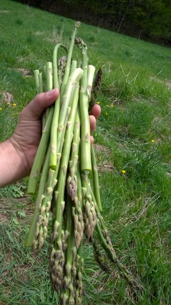 I planted these asparagus crowns in 2011, forgot about them for four years in an old pasture, and ta-da! spring dinner.