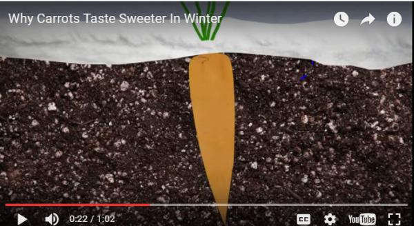 why-carrots-taste-sweeter
